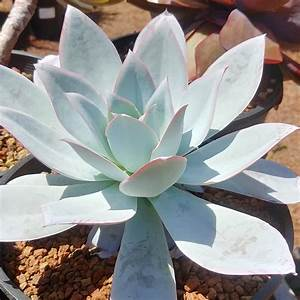 echeveria cante cactus jungle