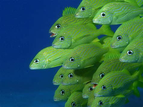 green fish hd desktop backgrounds