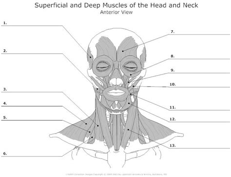 14 Best Images Of Muscle Anatomy Worksheet  Upper Limb Muscles Anatomy Worksheet, Muscular