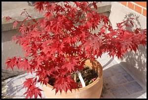 Arbuste Fleuri En Pot : arbres et arbustes le bonsa erable du japon ~ Premium-room.com Idées de Décoration