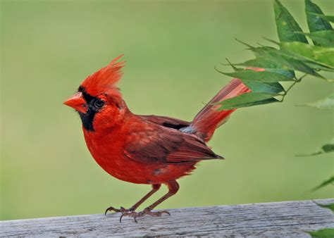 the red birds have a special meaning cardinals it