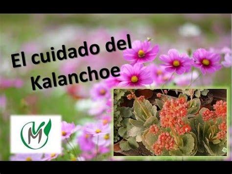 Cómo Cultivar Y Cuidarla Planta Kalanchoe  Tvagro Por