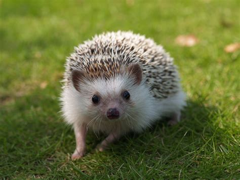 Heat L For Pygmy Hedgehog by Free Photo Animals Mammalia Erinaceidae Hedgehog