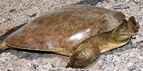 spiny softshell turtle national wildlife federation