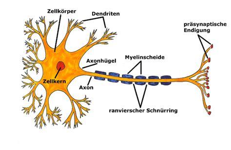 nervenzelle aufbau und funktion abiblick de