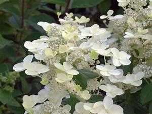 Hydrangea Paniculata Schneiden : hortensie rispenhortensie 39 early sensation ~ Lizthompson.info Haus und Dekorationen