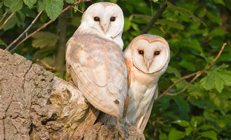 What Do Barn Owls Eat by What Do Owls Eat And Other Owl Facts Woodland Trust