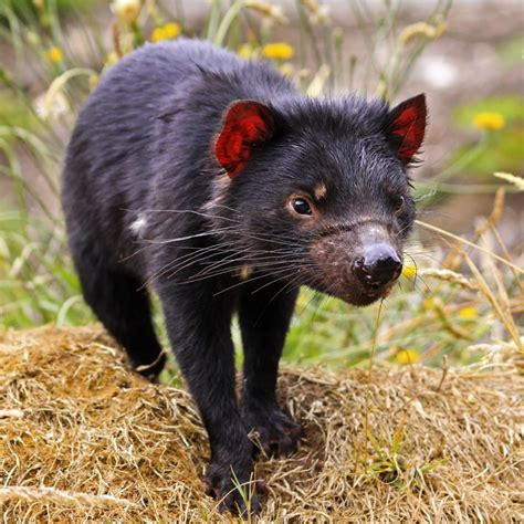 Tasmanian devil is the largest marsupial carnivore. Tasmanian Devil | The Animal Spot