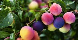 Plum Wallpapers High Quality