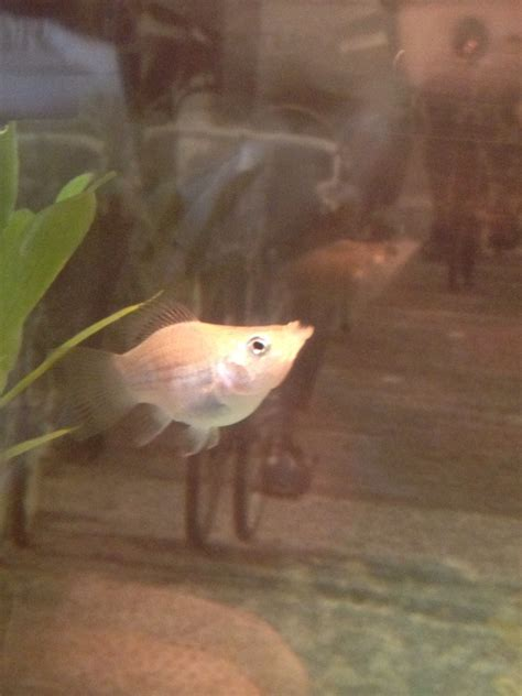wondering   white balloon belly molly fish