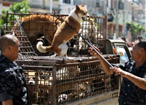 authorities slaughter yunnan dogs
