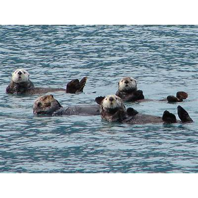 Curious sea otters in Prince William Sound – Living In My Car