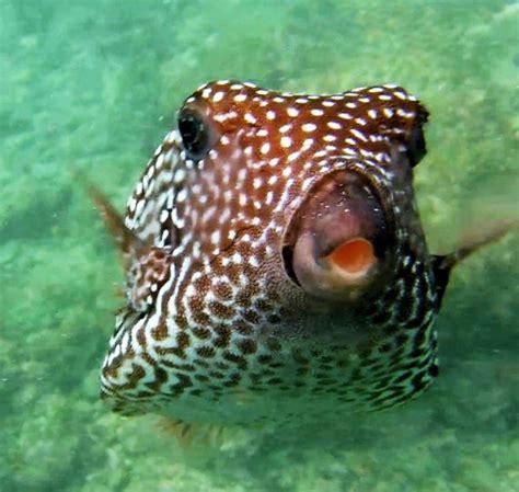 spotted boxfish mexico fish birds crabs marine life