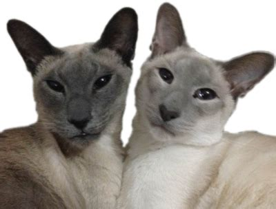 Blue Point Siamese Cats