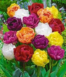 Tulpen Im Garten : p onien tulpen flower blend von baldur garten auf blumen ~ A.2002-acura-tl-radio.info Haus und Dekorationen