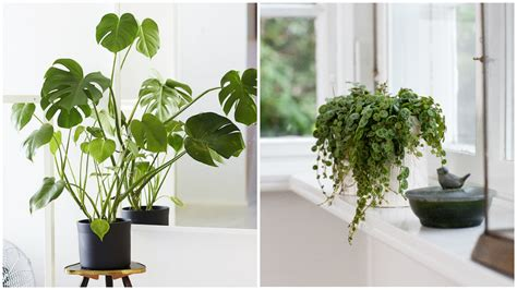 desk plants that don t need sunlight indoor plants that need sunlight search results