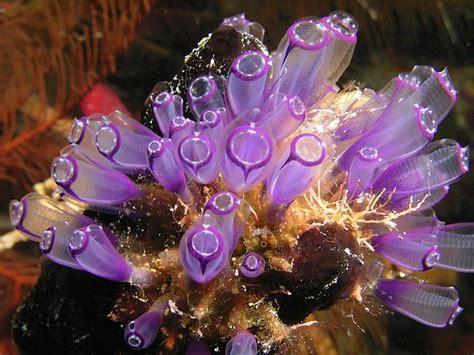 Purple tunicate, Belize Scuba Diving Photographs ...