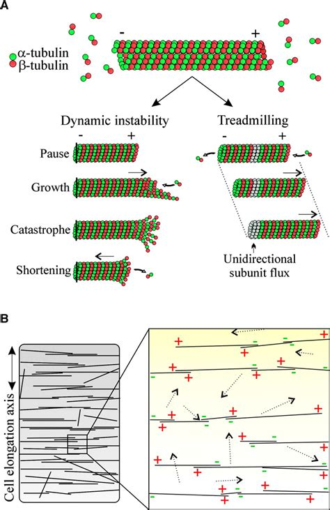 cortical microtubule array  dynamics