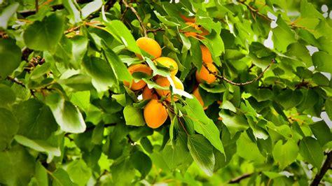 1080p Orange Fruit Wallpaper Hd by Wallpaper 1920x1080 Apricot Green Orange Fruit