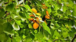 Apricot Fruit Wallpaper HD Desktop Images – One HD ...
