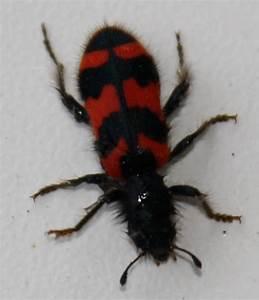 Schwarze Käfer Im Garten : rot schwarzer k fer wie heisst der genosse unbekannter ~ Lizthompson.info Haus und Dekorationen