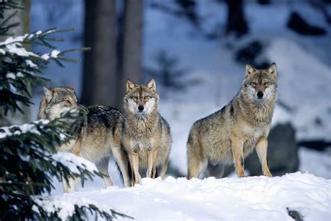 le loupe de bureau la russie pourrait donner certains de ses loups à la suède