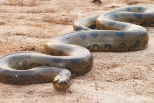 World Largest Anaconda Snake