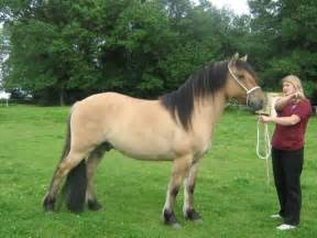 Yellow D'un Highland Pony
