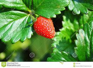 Sweetie Variety Of Strawberry Fruit Plant & Bush Stock ...