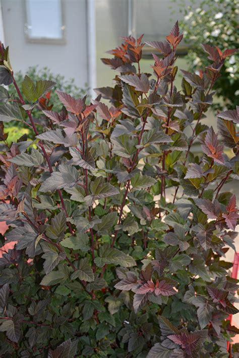 ginger wine ninebark physocarpus opulifolius smnpoblr