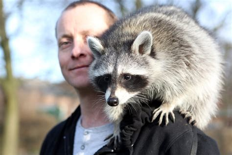 raccoons as pets zella the pet raccoon youtube