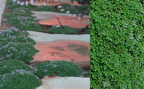 Buy Elfin Creeping Thyme For Sale Online From Wilson Bros