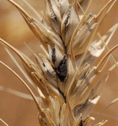common bunt ut crops disease field guide