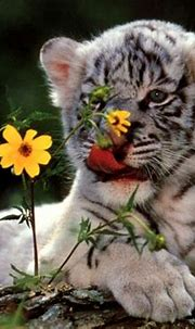 White Tiger Cubs Wallpaper Cute   Wallpapers Gallery