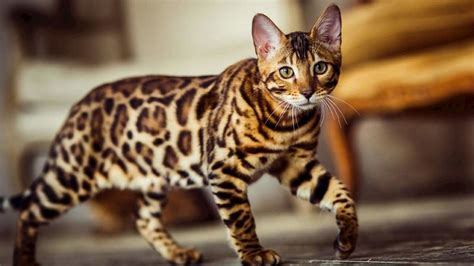 Animals Cat That Looks Like A Leopard In Newsweekly