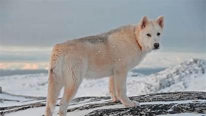 Dog Greenland Snow Hond Groenlandse Husky Breeds