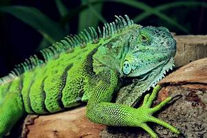 Free stock photo of animal, green, iguana