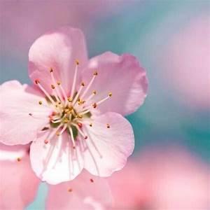 Cherry Blossom close-up   Flowers   Pinterest   Cherry ...