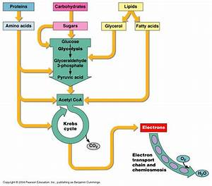 Protein  Sugar  And Lipid Catabolism
