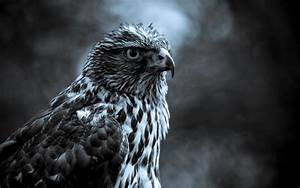 fabulous and amazing eagle wallpapers in hd for more