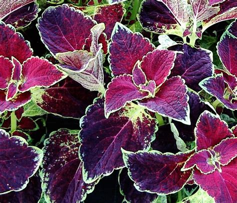 is coleus perennial coleus vino tall red purple chartreuse and white plants pinterest gardens plants