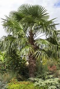 Windmill Palm - Chusan Palm - Trachycarpus Fortunei