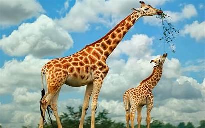 Giraffe Wallpapers Desktop