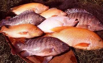 Distributor Peternakan Ikan Gurame distributor peternakan ikan gurame jual ikan air tawar