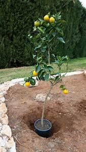 Aprikosenbaum Selber Ziehen : der nachwuchs ist da zitrusb ume hegen und pflegen ~ A.2002-acura-tl-radio.info Haus und Dekorationen