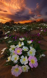 Beautiful Desert Sunrise Flowers