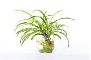 spider plants growing a spider plant in water leaving rooted spider