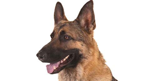 German Shepherd Gsd Dog Breed Information American Kennel Club