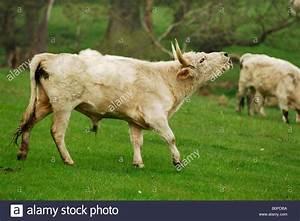 Herd Auf Englisch : die wilden rinder chillingham park northumberland gro britannien stockfoto bild 17703822 alamy ~ Orissabook.com Haus und Dekorationen