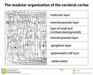 Diagram Of The Structure Of The Cerebral Cortex Stock